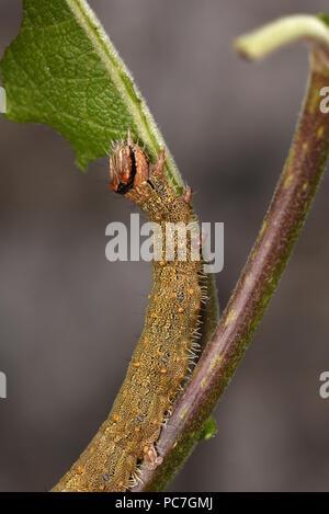 Rosy Underwing Tarma (Catocala electa) full cresciuto instar finale caterpillar alimentazione su capra Willow leaf, allevati in cattività. Immagini Stock