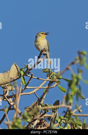 Subdesert Jery (Neomixis pallidior) adulto cantando dalla parte superiore della struttura ad albero, endemica malgascia La tabla, Tulear, Madagascar Novembre Immagini Stock