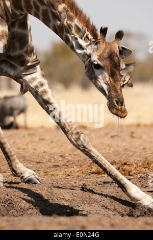 South African Giraffe, Savute Marsh, Botswana, Africa (Giraffa camelopardalis giraffa) Immagini Stock