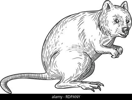 Disegno stile sketch illustrazione di un quokka, Setonix brachyurus, una piccola macropod marsupiale nativo di Australia occidentale isolato su sfondo bianco. Immagini Stock
