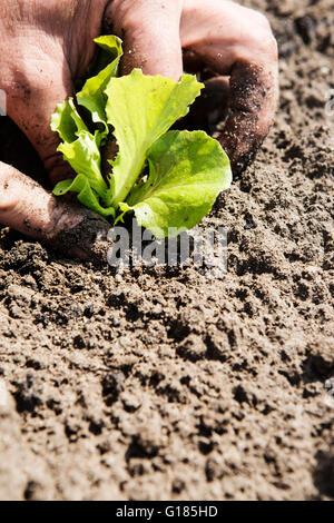 Agricoltore di piantare la piantina nel suolo Immagini Stock
