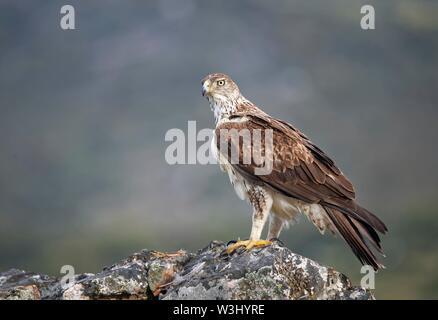 L'aquila del Bonelli (Aquila fasciata) sulle rocce, Estremadura, Spagna Immagini Stock