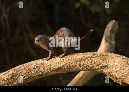Fiume Neotropical/Otter lungo argine, Matto Grosso, Pantanal, Brasile, Sud America (Lontra longicaudis) Immagini Stock