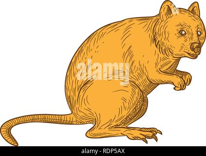 Disegno stile sketch illustrazione di un quokka, Setonix brachyurus, una piccola macropod marsupiale nativo di Western Australia su isolati backgroun bianco Immagini Stock