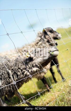 Pecore al pascolo Immagini Stock