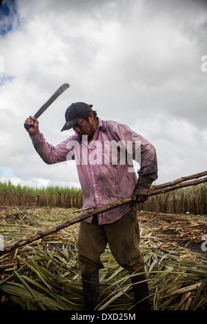 Una canna da zucchero agricoltore raccolti sulla canna da zucchero una piantagione in Belize. La canna da zucchero è trasformati e venduti come Fairtrade zucchero Immagini Stock