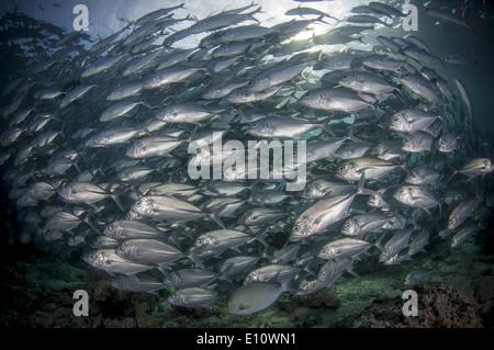 Una scuola di Big-eye carangidi, subacquea, Malaysia (Caranx sexfasciatus) Immagini Stock