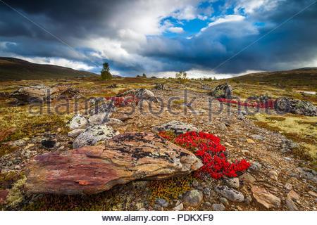 Drammatico scenario autunnale vicino al lago Avsjøen , Dovre, Norvegia. Il colore rosso delle piante è di montagna Avens, Dryas octopetala. Immagini Stock