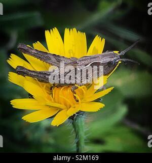 Un grasshopper posatoi su un giallo daisy in Prado del Rey, Sierra de Cadice, Andalusia, Spagna Immagini Stock