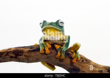 Iavan raganella seduto su un ramo, Indonesia Immagini Stock