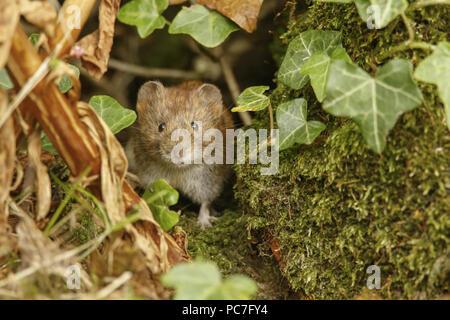 Bank Vole (Clethrionomys glareolus) adulto emergente dalla coperta di edera macerie, South Norfolk, Regno Unito. Luglio. Immagini Stock