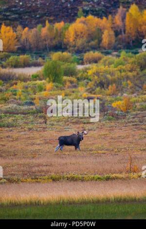 Elk, Alces alces, con grandi corna di cervo accanto al lago Avsjøen a Dovre, Norvegia. Immagini Stock