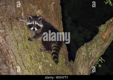 Raccoon (Procione lotor), giovane animale, arrampicata tronco di albero, Hesse, Germania Immagini Stock