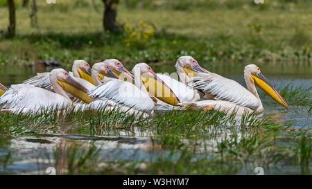 Gruppo grande bianco pellicani (Pelecanus onocrotalus), il lago Naivasha, il Parco Nazionale del Kenya Immagini Stock