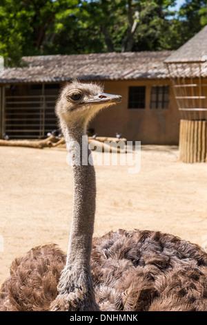 Close-up di struzzo (Struthio camelus) in uno zoo, allo Zoo di Barcellona, Barcellona, in Catalogna, Spagna Immagini Stock