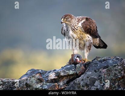 L'aquila del Bonelli (Aquila fasciata), femmina con un catturato pernice rossa, Estremadura, Spagna Immagini Stock