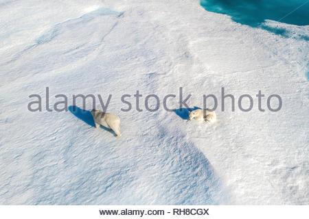 """Incredibili immagini aeree hanno catturato """"clima rifugiati' orsi polari caccia e di corsa attraverso il continuo calo mare Artico ghiaccio. La splendida pictur Immagini Stock"""