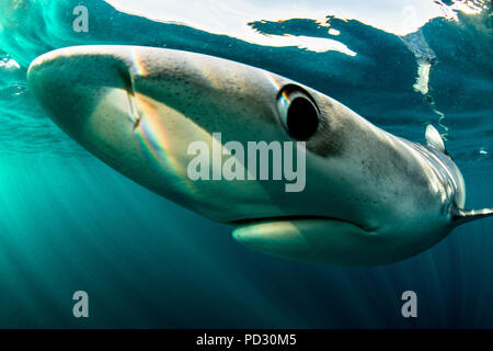 Blue Sharks (Prionace glauca), nuoto subacqueo, close-up, Baltimore, County Cork, Irlanda Immagini Stock