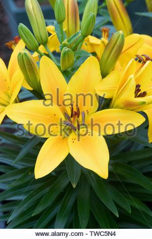 """Il Lilium """" Golden gioia"""". Nana Giglio asiatico fiori vicino. Regno Unito Immagini Stock"""