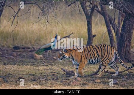 Tiger in Ranthambhore national park, Rajasthan, India, Asia Immagini Stock