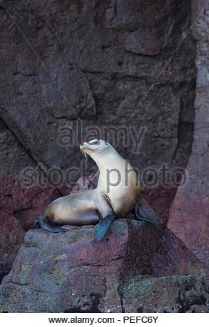 Un leone di mare a crogiolarvi al sole su una roccia su Isla Los Islotes. Immagini Stock