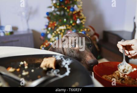 Cane affamato guardando proprietario mangiare Immagini Stock