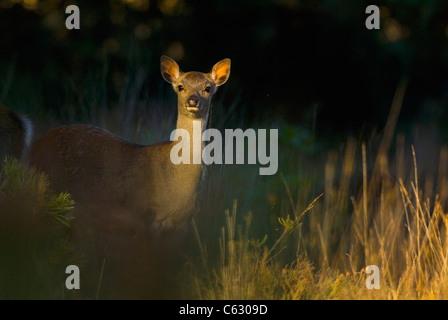 SIKA DEER Cervus nippon un vitello spotlit è in una radura del bosco nella luce della sera Dorset, Regno Unito Immagini Stock