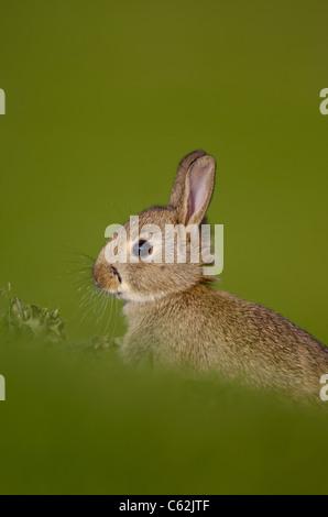 Coniglio oryctolagus cuniculus ritratto di profilo di un coniglio giovane seduto in posizione eretta di Norfolk, Immagini Stock