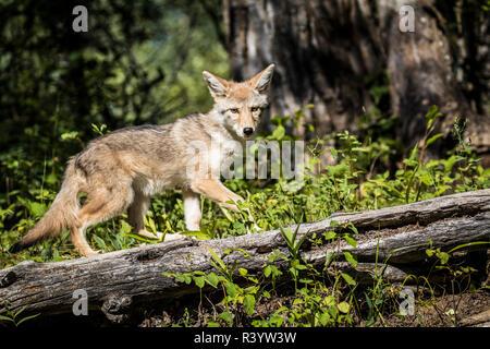 Il Parco Nazionale di Glacier, Montana. Coyote Immagini Stock