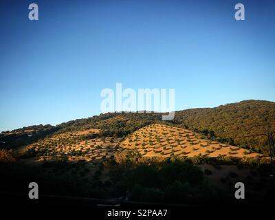 Gli alberi di ulivo e una foresta in Prado del Rey, Sierra de Grazalema, Spagna Immagini Stock