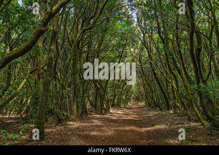 Parco Nazionale di Garajonay è coperto da dense foreste di alloro. La Gomera, isole Canarie, Spagna. Immagini Stock
