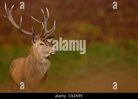 RED DEER Cervus elaphus un adulto stag tra i colori autunnali di ottobre rut Leicestershire, Regno Unito Immagini Stock
