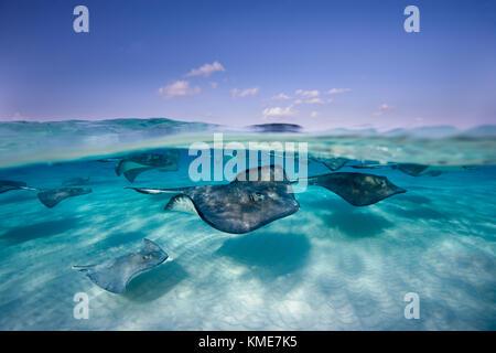 Fotografare stingray meridionale al sito di immersione noti come sandbar Immagini Stock