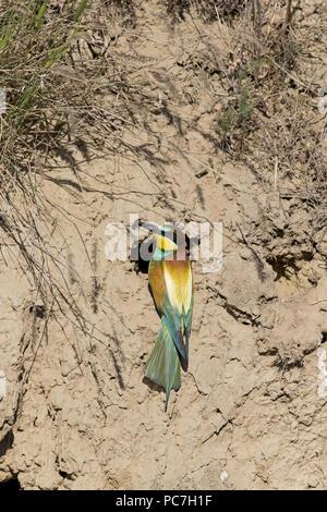 Unione Gruccione (Merops apiaster) adulto, arroccato a nido foro, con preda di insetti nel becco, Macin, Romania, Giugno Immagini Stock