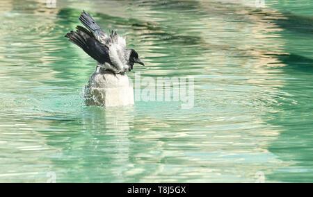 Carrion crow in una fontana di acqua, Iran Immagini Stock