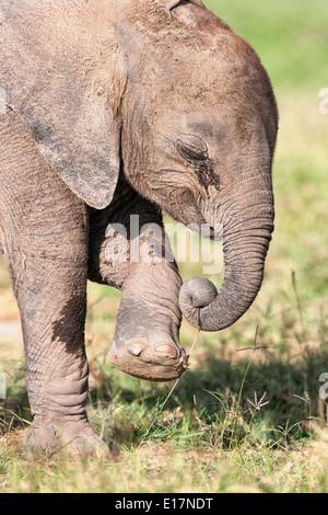 Elefante africano (Loxodonta africana) i giovani vitelli. Amboseli National Park.Kenya Immagini Stock