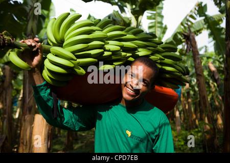 Fairtrade banana agricoltore in possesso di una filiale di grandi dimensioni di banane Immagini Stock