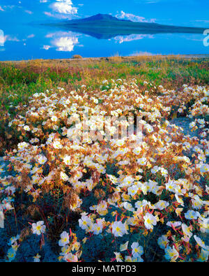Evening Primerose blumi, Antelope Isalnd parco statale, Utah fantastica Salt Lake Oenothera pallida Immagini Stock