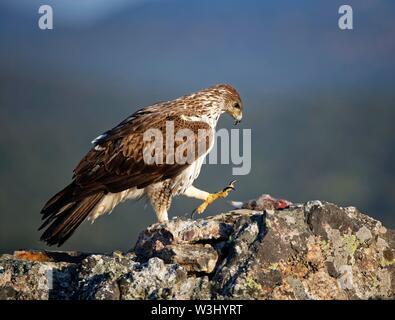 L'aquila del Bonelli (Aquila fasciata) con catturato coniglio su roccia, Estremadura, Spagna Immagini Stock