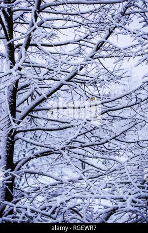 Nevoso alberi di diramazione Immagini Stock