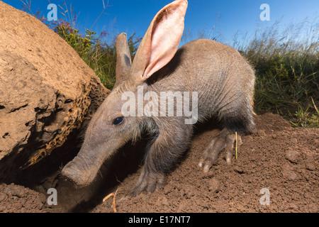 Giovani Aardvark(Orycteropus afer)cercando di formiche e termiti.Namibia Immagini Stock