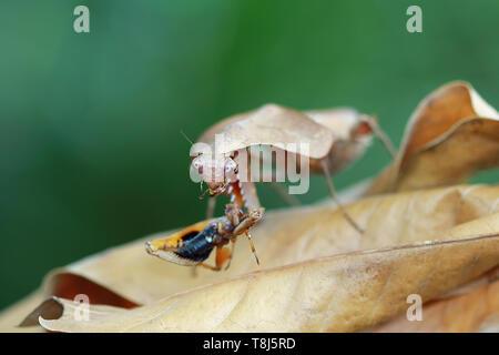 Foglia morta mantis camouflage su foglie essiccate con la preda, Indonesia Immagini Stock