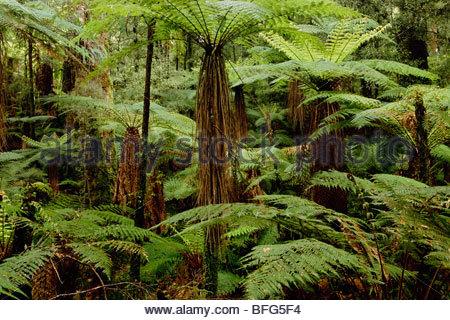Felci arboree nella foresta podocarp, Whirinaki Conservation Park, Nuova Zelanda Immagini Stock