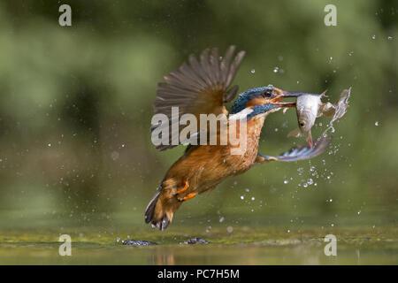 Common Kingfisher (Alcedo atthis) femmina adulta, in volo, emergenti dall'acqua con 2 comune Rudd (Scardinius erythropthalamus) preda nel becco, Suffolk, Immagini Stock