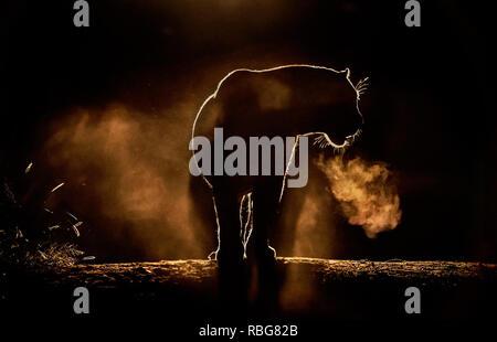 Un Leorpard. / Tramonto ALLALBA immagini mostrano in Africa la ricca fauna stagliano durante l inizio e la fine della giornata quando la luce raggiunge il suo perfetto stato di illuminazione. Un ippopotamo è mostrato in agguato in acqua, mentre altre fotografie mozzafiato dare un intimo scorcio di leoni, giraffe, Kudu, flamingo, elefanti, leopardi, Rhino's e zebre in questa bella stagliano tecnica. Evan di un nugolo di pipistrelli può essere visto volare attraverso il tramonto Africano. Altre foto di drammatico di tutta l'Africa australe e orientale mostrano un ferito gnu eludere un fuoco che ha spazzato attraverso la Immagini Stock