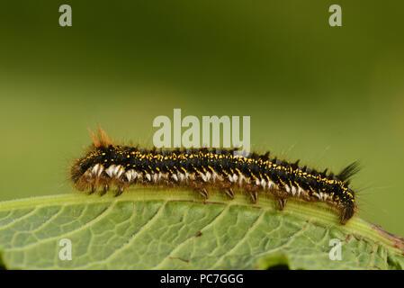 Il bevitore Tarma (Euthrix potatoria) finale instar larva, a riposo sulla foglia, Monmouth, Galles, Giugno Immagini Stock