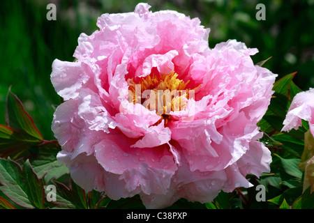 Grande e bel pallido rosa peonia (Paeonia officionalis) blossoms Immagini Stock