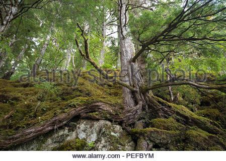 Sitka Spruce alberi, su un sentiero per il Lago di Eva. Immagini Stock