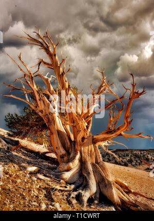 Ampiamente la ramificazione Bristlecone Pine. Bristlecone antica foresta di pini, California. Immagini Stock