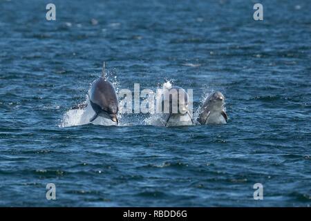 INVERNESS, SCOTLAND: Tre delfini tursiopi gara attraverso l'acqua a Chanonry Point vicino a Inverness, Scotland. Tre divertimento-amoroso delfini mettere su un impressionante display per a curiosi come hanno violato e capovolto attraverso le acque di Chanonry Point nei pressi di Inverness. Il tursiope compreso il miele, un giovane undici anni mamma e due ragazzi può anche essere visto nuotare in perfetto unisono, apparendo a gara ogni altro attraverso l'acqua nelle Highlands della Scozia. WDC / Charlie Phillips / mediadrumworld.com Immagini Stock